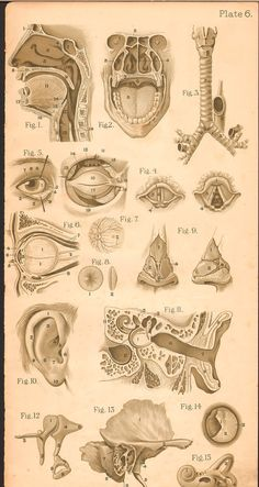 1920s Vintage Antique Medical Anatomy Print Art by AgedPage.