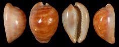 Marco Passamonti Zoila venusta sorrentensis 'golden form'. 55 mm, F++/GEM. W. Australia, Perth area.