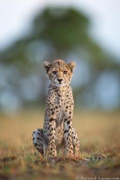 Cachorro de guepardo fotografiado por Will Burrard-Lucas en Liuwa Plain, Zambia Animals And Pets, Baby Animals, Funny Animals, Cute Animals, Beautiful Cats, Animals Beautiful, Big Cats, Cats And Kittens, African Cats