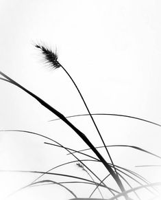 Pampas grass in the fog