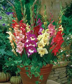 Gladiolus. Love them in the pot like this.