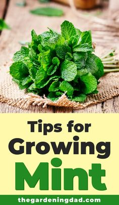 Herb Gardening for Beginners: Learn Tips for Growing Mint in pots and in your garden. This is one of the easiest herbs to grow and can provide you with food all summer long!