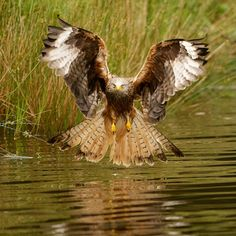 Nibbio Reale - Red Kite (Milvus milvus) - IMHO, a great picture