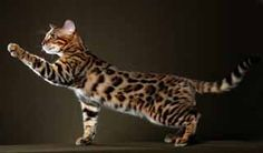 this is a beautiful BENGAL which I am SERIOUSLY eyeing!