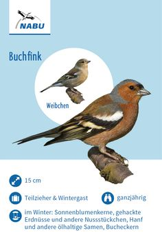Der Buchfink - New Ideas Flora And Fauna, Bird Watching, Beautiful Birds, Pet Birds, Good To Know, Animals And Pets, Hunting, Chihuahua, Nature