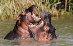 St Lucia is surrounded by water, the west by the Estuary and on the East the Indian Ocean. The St Lucia Estuary is home to an impressive 800 Hippos. This is the largest population of Hippos in South Africa. Click on pic to find where to stay in St. Lucia - Zululand.