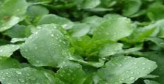 ΝΕΡΟΚΑΡΔΑΜΟ ΑΠΙΣΤΕΥΤΑ ΤΑ ΟΦΕΛΗ ΤΟΥ! Είναι το πιο υγιεινό λαχανικό στον κόσμο κι όμως…κανείς δεν το τρώει! Parsley, Lettuce, Spinach, Herbalism, Spices, Remedies, Health Fitness, Herbs, Vegetables