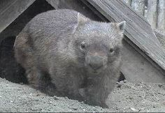 If you think this is an oversized guinea pig, think again! This is a wombat. His picture will link you to an awesome website all about them. Cool facts and pictures.