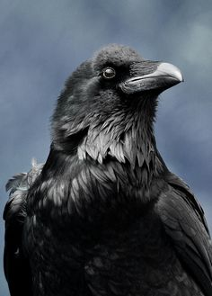 Raven - here easily distinguished from crow.