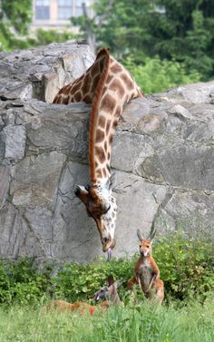 So tell me:  IS the grass greener on the other side: Spotted giraffe with greenery clearly visible behind him is stretching over the zoo's high stone wall to grab some dinner foliage from the kangaroo's are.