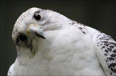 Gyrfalcon. by Evey-Eyes Photography / Animals, Plants & Nature / Birds©2012-2014 Evey-Eyes