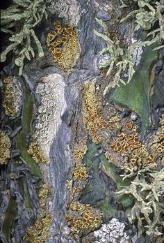 mixed lichens on cactus bark, by Stephen Sharnoff. Also, lichen in the desert? Natural Forms, Natural Texture, Patterns In Nature, Textures Patterns, Slime Mould, Mushroom Fungi, Tree Bark, Texture Art, Amazing Nature