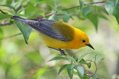 Mystery of the Missing Migrants - Prothonotary Warbler #24