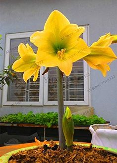 Bonsai Bule Hippeastrum Flower (not Hippeastrum bulbs) Perennial Indoor Blooming Potted Plants For Home Garden Plant Amaryllis Plant, Amaryllis Bulbs, Beautiful Rose Flowers, Exotic Flowers, Flower Seeds, Flower Pots, Barbados, Hydroponic Farming, Amarillis