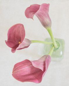 Calla Lily Botanical Art Print -Fine Art Photograph - Pink and Green Floral Wall…