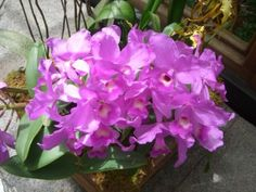 Growing Cattleya Orchids: Caring For Cattleya Orchid Plants ~ via Gardeningknowhow.com