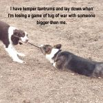 """""""The Corgi Workout"""" featuring my boy Remington and his friend Abby :) thanks Dogshaming for posting!"""