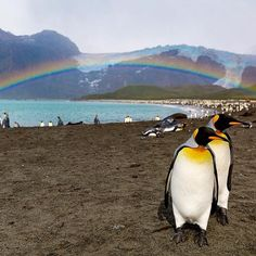 photograph by @susanseubert // During a recent visit to the island of South Georgia, we made a landing at Gold Harbour, home to thousands of King penguins.  We also had a persistent rainbow, which simply added to the magic of this place.  Photographed #onassignment for @natgeotravel @natgeocreative #natgeoexpeditions #penguins #rainbows Follow @susanseubert for more!