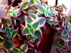 marginalis 'Variegata' (Calico Kitten) is a low-growing, spreading succulent plant, up to 6 inches cm) tall. Sun Plants, Cool Plants, Live Plants, Cactus Plants, Garden Plants, Indoor Plants, House Plants, Herb Garden, Hanging Succulents