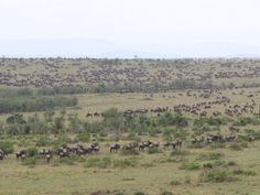 The Great Migration of the Wildebeast from Hot Air Balloon above Masai Mara, Kenya
