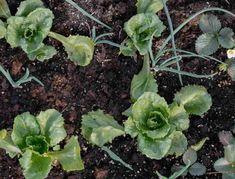 Growing Veggies, Growing Plants, Vegetable Garden, Garden Plants, Vegetable Benefits, Garden Works, Kinds Of Vegetables, Tall Plants, Ornamental Plants