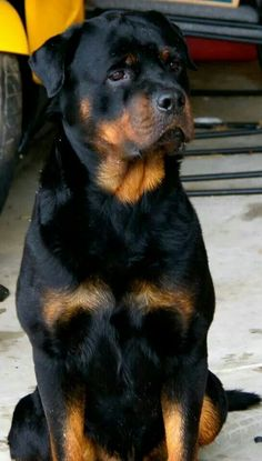 Look how beautiful this animal is! I have always wanted a Rottweiler and I will get one some day!!