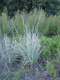 Big bluestem grass.  Native to North Texas.  Turns orange in autumn.  Interesting...