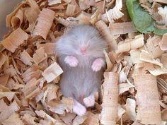 Śpiący chomik :D
