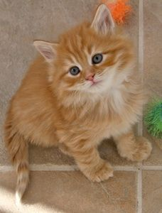 Siberian Cat Breeders are unique breeders in itself, but what makes them so unique about it? A Siberian cat is an explicit breed of Russia Siberian Cat Breeders, Siberian Kittens, Cute Kittens, Cats And Kittens, Chat Maine Coon, Pretty Baby, Funny Cats, Creatures, Kitty