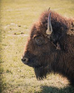 Bison Safari At FortWhyte Alive Arctic Tundra, Canadian Travel, Camping And Hiking, Bison, Brown Bear, Taking Pictures, Rafting, Safari, Wildlife