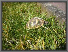 Schildkrötenfutter: Futterpflanzen und vieles mehr für Landschildkröten