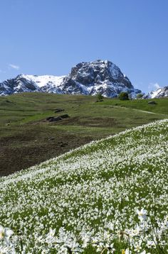 Contrast between winter and spring - the blooming of daffodils, in contrast to the nearby snow on the mountain