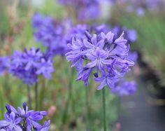 New dwarf Agapanthus Madurodam dark blue flowers excellent garden plant