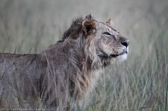 mara lion by Stephan Tuengler on 500px