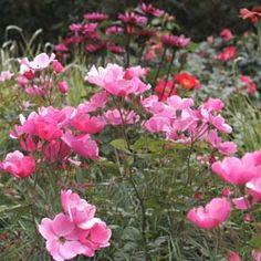 rosa nitida Kebu