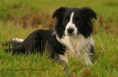 What's a farm without a Border Collie?