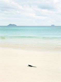 A Marine Iguana Strolls Along the White Sand Beach on Isla Santa Cruz in the Galapagos Islands Photographic Print by Greg Endries at Art.com
