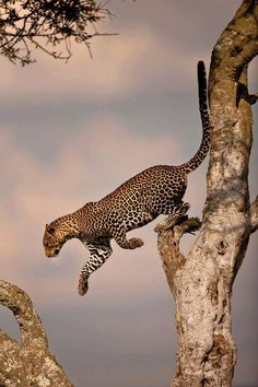 """wildlifepower: """" L-L-L-LEOPARDS TIME! The leopard /ˈlɛpərd/ (Panthera pardus) is one of the five """"big cats"""" in the genus Panthera. It is a member of the Felidae familywith a wide range in some parts. Nature Animals, Animals And Pets, Cute Animals, Wild Animals, Baby Animals, Wildlife Nature, Safari Animals, Beautiful Cats, Animals Beautiful"""