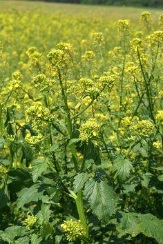 Fehér mustár termesztés - Trebag.hu