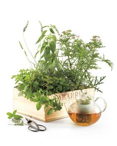 Gardening editor Stephen Orr likes to give friends this portable garden, which contains the ingredients for tisane, or herbal tea. To make one, plant mint, rose geranium, pineapple sage, and lavender in a wooden wine crate or other container with ample drainage. To get the gift to keep on giving, be sure to tell the recipient to place it in full sun outdoors and to pluck a few sprigs for morning tea or for adding to black tea.