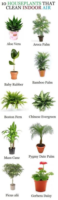 Houseplants that clean indoor air