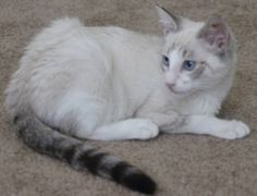 Plea for Help from Merlin's Hope: A Ragdoll and Maine Coon Rescue