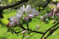 Apple-blossom, appelbloesem, spring, lente