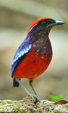Garnet Pitta, found in Brunei, Indonesia, Myanmar, Singapore, & Thailand. Habitat is subtropical or tropical moist lowland forests. It is threatened by habitat loss.             ksx birds photography