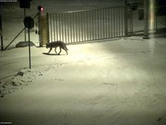 "Wolf entering ""nightshift"" at ABB in Vaasa, Finland."
