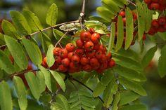Et rønnebærtræ fylder ikke meget, og kan derfor snildt plantes i selv den mindste skovhave. Du kan vælge mellem flere sorter.  Sorbus aucuparia 'Edulis' er et sundt, lille træ, som har frugter, der kan bruges til marmelade og saft – i modsætning til almindelig røn, som mest bruges til gele. Du kan også vælge den spiselige røn, Sorbus domestica, som har frugter, der ligner minipærer.   Vil du have mere inspiration, så bliv medlem af Praktisk Økologi : www.oekologi.dk