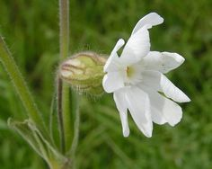 Esta florecita es hacía 32.000 años que no se veía en la Tierra...
