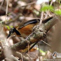 Lesser Necklaced Laughingthrush by Markus Lilje