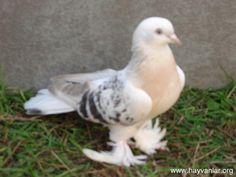 Erkek Miski Güvercin