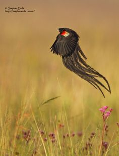 Widowbird in environment